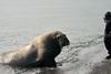 Walrus_Svalbard_2018_Norway_0428