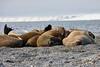 Walrus_Svalbard_2018_Norway_0221