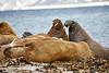 Walrus_Svalbard_2018_Norway_0140