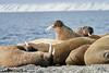 Walrus_Svalbard_2018_Norway_0314