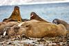 Walrus_Svalbard_2018_Norway_0123
