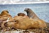 Walrus_Svalbard_2018_Norway_0146