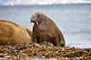 Walrus_Svalbard_2018_Norway_0176