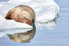 Walrus_Svalbard_2018_Norway_0237