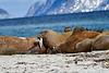 Walrus_Svalbard_2018_Norway_0251