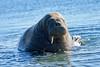Walrus_Svalbard_2018_Norway_0410