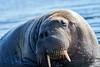 Walrus_Svalbard_2018_Norway_0416