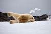 Yoga_Polar_Bear_On_Snow_Svalbard_2018_Norway_0007