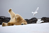 Yoga_Polar_Bear_On_Snow_Svalbard_2018_Norway_0006