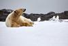 Yoga_Polar_Bear_On_Snow_Svalbard_2018_Norway_0019