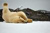 Yoga_Polar_Bear_On_Snow_Svalbard_2018_Norway_0002