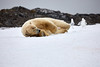 Yoga_Polar_Bear_On_Snow_Svalbard_2018_Norway_0017