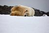 Yoga_Polar_Bear_On_Snow_Svalbard_2018_Norway_0020
