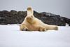 Yoga_Polar_Bear_On_Snow_Svalbard_2018_Norway_0014