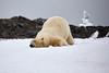 Yoga_Polar_Bear_On_Snow_Svalbard_2018_Norway_0013
