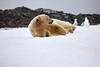 Yoga_Polar_Bear_On_Snow_Svalbard_2018_Norway_0018