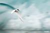FlyingArticTern_0872