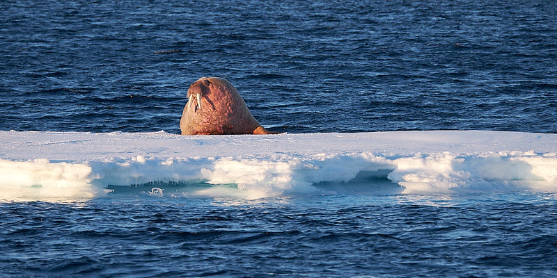 26.) Walrus on ice. These guys are much larger that I ever thought.