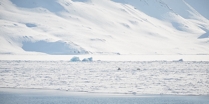18.) This was my first  sighting of Polar Bear. Our keen eyed guides saw them from quite a distance and maneuvered the ship to our encounter. These two, a large male and small female stayed near the Origo for 48 hours, at which time we had to leave, because the ice was closing in behind us.