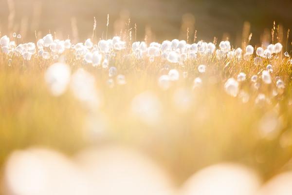 arctic cottongrass