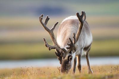 svalbard reindeer eating