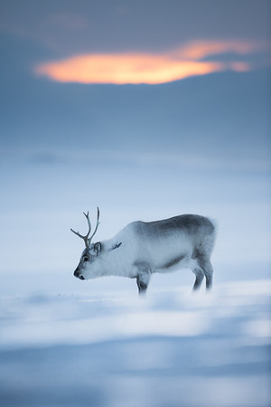 winter reindeer