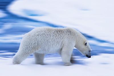 Panned Polar Bear