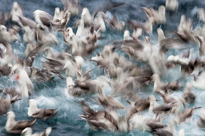 northern fulmar feeding frenzy