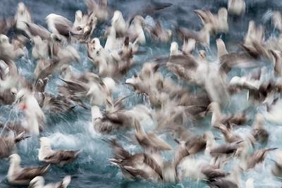 northern fulmar feeding frenzy
