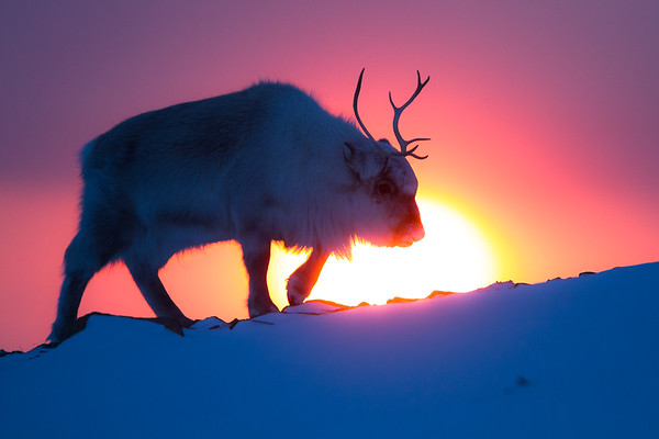 Svalbard reindeer at sunset