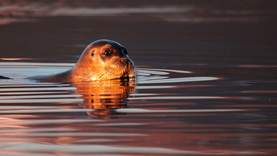 bearded seal at sunset