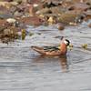 Red Phalarope feeding near Andoyane (Duck Island)