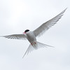 Arctic Terns were nesting near the road in Longyearbyen - very territorial!