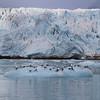 Kittiwakes on ice near Monacobreen