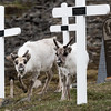 Two young Svalbard Reindeer in the old graveyard in Longyearbyen
