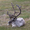 A big male Svalbard Reindeer resting near some houses in the centre of Longyearbyen