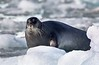 Not so much a beard as an impressive moustache of a Bearded Seal