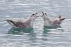 Squabbling Northern Fulmars in Monacobreen