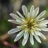 Taraxacum arcticum