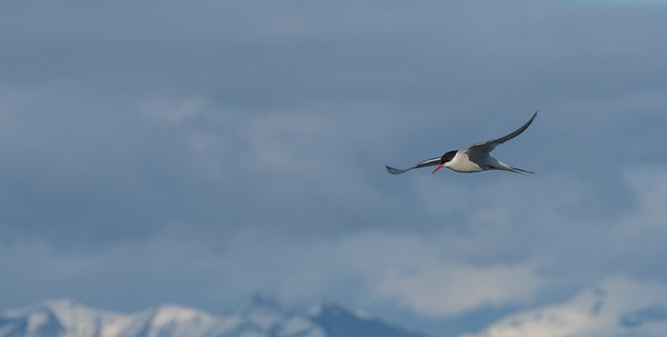 Soaring Arctic Tern