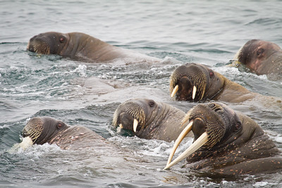 Walrus around Moffin Island