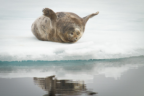 Napping bearded seal