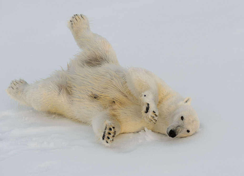 Polar bear rolling