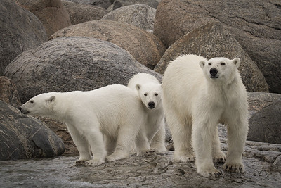 Mom and cubs after a swim