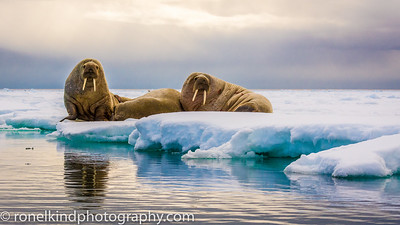 Walruses on the pack ice