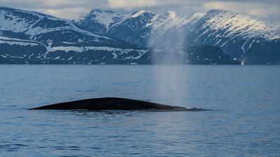 Blue Whale Spouts