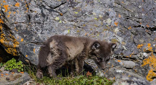 Arctic Fox Pup Examines Den Neighborhood