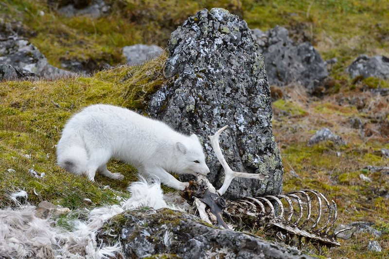 Arctic fox and carcass