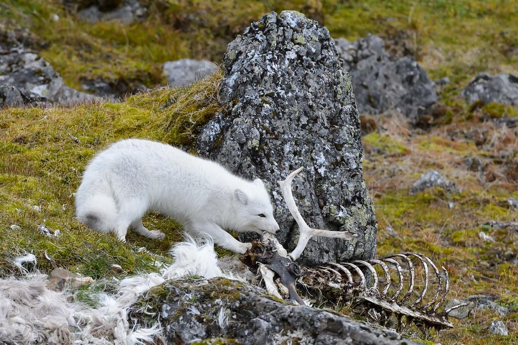 Arctic fox and carcass