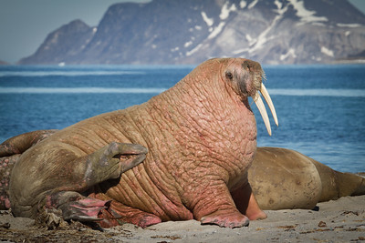 Male Walrus hauled out to soak up the sun